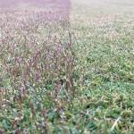 穂刈りの途中。近接撮影。右側が穂刈り後、左側が穂刈り前。
