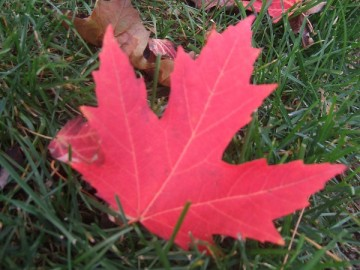 A red maple leaf on the green lawn.
