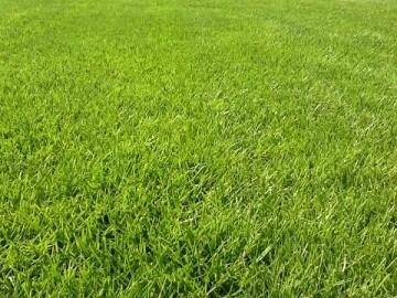 芝生をアップで撮影。長めだが、平坦できれいに刈られた芝生。
