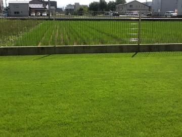 芝生を少しアップで撮影。長めだが平坦できれいに刈られている。