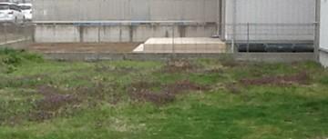 2013年。手前に空き地の雑草。奥には芝焼き後の茶色い芝生。
