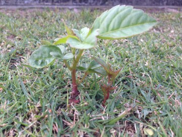芝生に生えたヤブガラシ。葉は緑色、茎は赤紫色。
