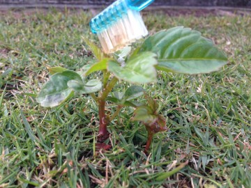 芝生に生えたヤブガラシに、歯ブラシでMCPPを塗布している。