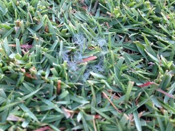 芝生の上に白いクモの巣のようなピシウム菌の菌糸。
