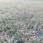 同じく近づいて撮影した芝生。紫色のTM9の穂が出ています。