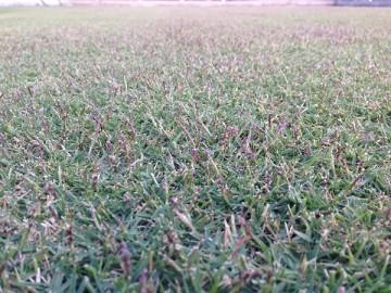 近づいて撮影した芝生。紫色のTM9の穂が出ています。
