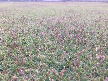 穂刈りの前の芝生。紫色の穂が良く育っている。