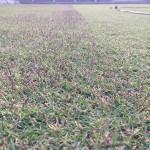 半分刈った芝生。右側が刈った後。穂が刈られて綺麗になった。