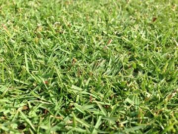 2015年10月31日の芝生。近接撮影。