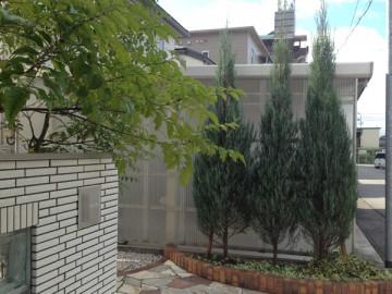 玄関前の3本のコニファー(ブルーエンジェル)。