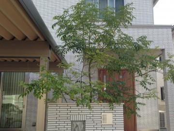 玄関前のシマトネリコ。白いタイルの家の前、門柱の後ろに。