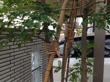 シマトネリコの幹を竹の支柱に緑化樹用テープと荒縄で固定。