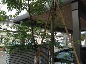 後ろからみた冬囲い後のシマトネリコ。3本の竹で固定。