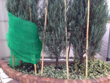 コニファーの周囲に巻いた緑のネットの長さが足りない。