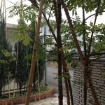竹の支柱で固定された、冬囲いの後のコニファーとシマトネリコ。