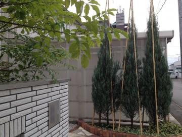 冬囲いの後のコニファー。竹を3本打ち込み竹の頭を結んで固定。