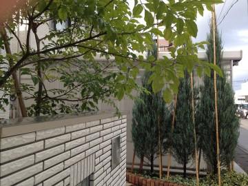 冬囲い途中のコニファー。竹を3本打ち込み竹の頭を結んで固定。