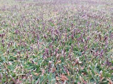 11月8日の庭の芝生。TM9の穂の近接撮影。紫色の穂がたくさん。
