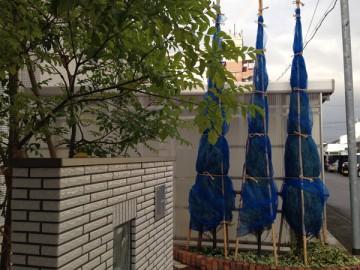 冬囲いの後のコニファー。周りに青いネットをまいて荒縄で結ぶ。