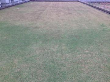 11月14日の芝生。穂刈りの前。一面に紫のTM9の穂。