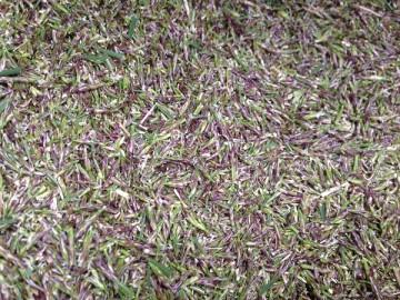穂刈りの後の集草箱の中。近接撮影。紫色のTM9の穂が一杯。