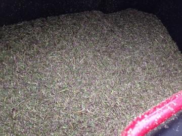 穂刈りの後の集草箱の中。紫色のTM9の穂が一杯。