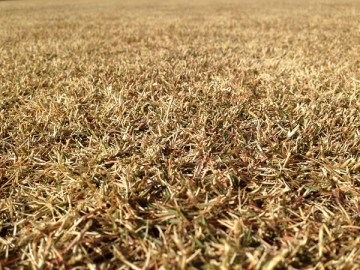 芝生の近接撮影。完全に茶色いところ。
