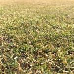 芝生の近接撮影。比較的、緑を保っているところ。