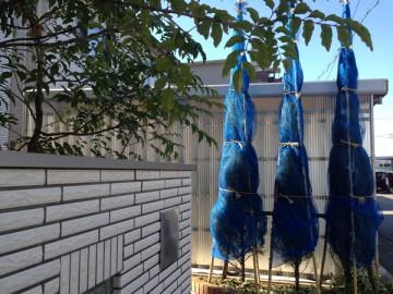 玄関前のコニファーとシマトネリコ。明るい日差しときれいな青空。