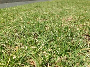 天然芝の近接撮影。あまり細かい手入れはされてない様子。
