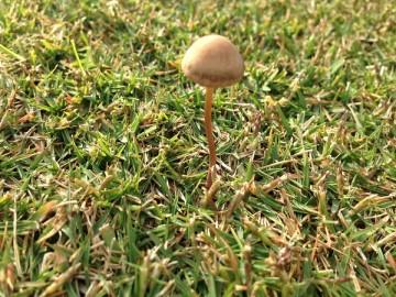 芝生に生えたキノコ。細長い柄に小さな三角錐の傘。
