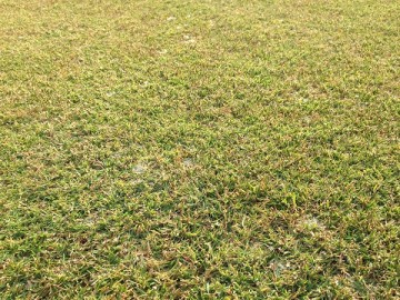 よく見ると芝生のあちこちに白いピシウム菌の菌糸。
