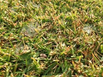 近接撮影。芝生に白いクモの巣の様なピシウム菌の菌糸。