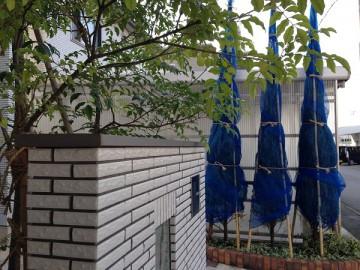 玄関前のシマトネリコと青いネットで冬囲いされたコニファー。