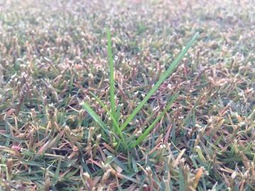 別の場所の芝生の近接撮影。ここにも芝生に生えた緑色の雑草。