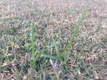 芝生の近接撮影。芝生に生えた緑色の雑草。