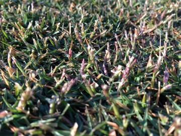 芝生の近接撮影。よく見るとTM9の穂や軸が少し残っている。