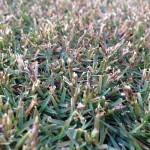 別の場所の芝生の近接撮影。TM9の穂や花軸が少し残っている。