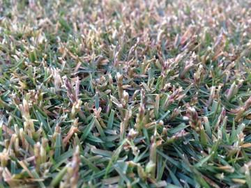 別の場所の芝生の近接撮影。TM9の穂や軸が少し残っている。