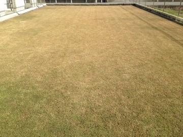 冬枯れして茶色くなった部分の芝生を違う方向から撮影。