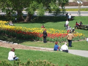 緑の芝生、赤と黄色のチーリップ。オタワのチューリップ・フェスティバル。