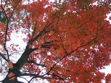 紅葉で赤くなったメープルの樹の枝。