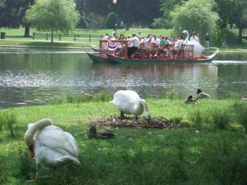 水際の芝生に巣をつくり卵を温める白鳥。後ろの池にはスワン・ボート。