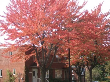 公園の樹木。紅葉をむかえたメープルの樹と赤いレンガの建物。