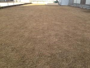 2016年1月10日の芝生。東側からの撮影。芝生は冬枯れで茶色くなっている。