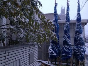 1月19日の玄関前のコニファーとシマトネリコ。少し雪が積もっている。