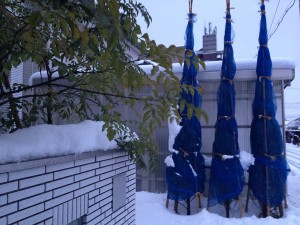 1月20日の玄関前のコニファーとシマトネリコ。十数センチの雪が積もっている。