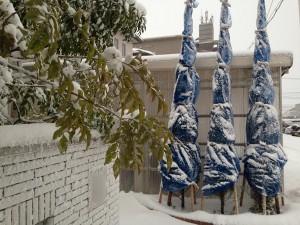 2016年1月24日、雪に覆われた玄関前のコニファーとシマトネリコ。
