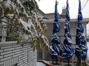 2016年2月7日、雪に覆われた玄関前のコニファーとシマトネリコ。