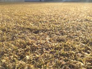 2016年2月11日の雪のない裏庭の芝生。近接撮影。